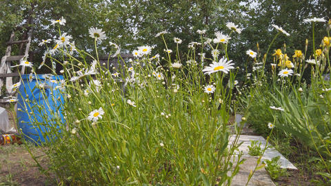 White flowers daisies or chamomile in a flower bed in a garden swaying in a Live Action