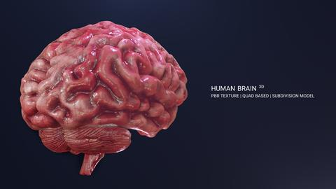 Human Brain 3D Model 3Dモデル