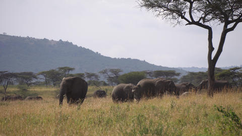 Elephant Family in Green Meadow of African Savanna. Animals in Conservation Area Live Action