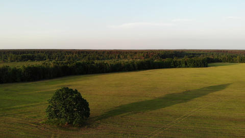 fly over beautiful landscape with huge lonely oak tree on sunset, aerial view Live Action