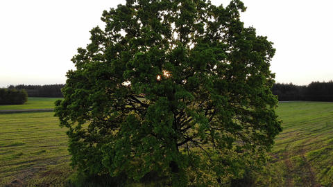 drone flight go up high under the huge oak tree, against the sun, on sunset, sun Live Action