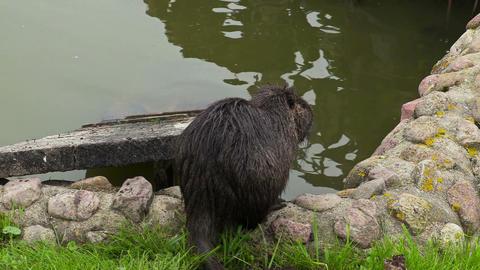 Wild nutria,water rat near to water Footage