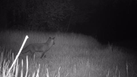 Loneliness Red Fox (Vulpes Vulpes) Walk, Rest and Look in a Meadow by Night Live Action