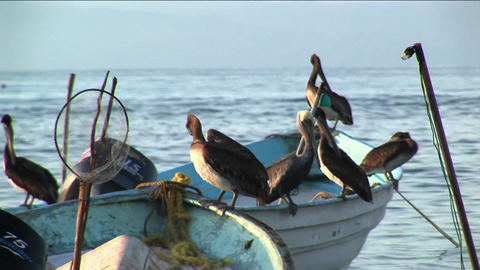 Six pelicans stand on two rowboats floating in the water Stock Video Footage
