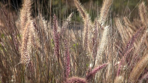 A field a wild grasses blows with the wind Stock Video Footage