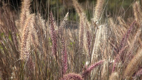 A field a wild grasses blows with the wind Footage