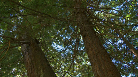 Sequoia trees in Big Sur, California Stock Video Footage