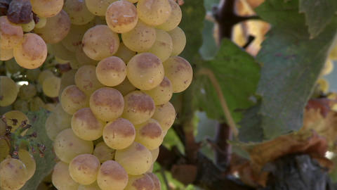 Chardonnay grapes ripen on the vine in California wine... Stock Video Footage