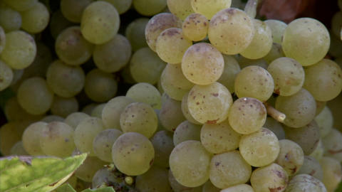 Chardonnay grapes ripening on the vine in California wine... Stock Video Footage