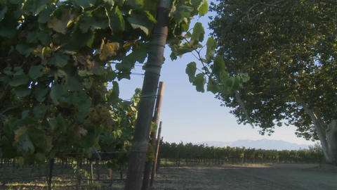 Slow pan across a vineyard on a windy day in California... Stock Video Footage