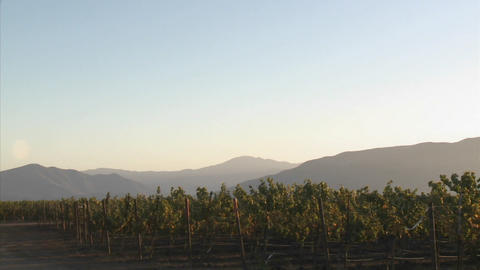 Pan across a Salinas Valley vineyard in the Monterey County wine country of California Footage