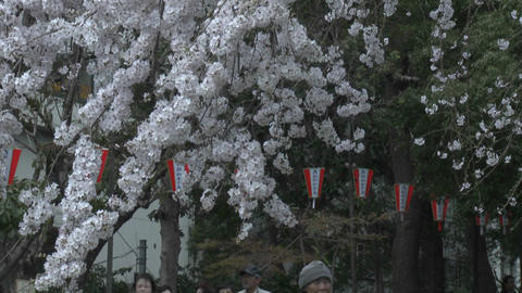 A vertical pan in Ueno Park during the cherry blossom season in Tokyo, Japan Footage