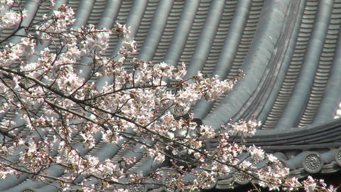 Vertical pan in Ueno Park during the cherry blossom... Stock Video Footage