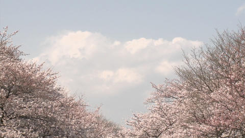 Vertical pan in Ueno Park during the cherry blossom season in Tokyo, Japan Footage