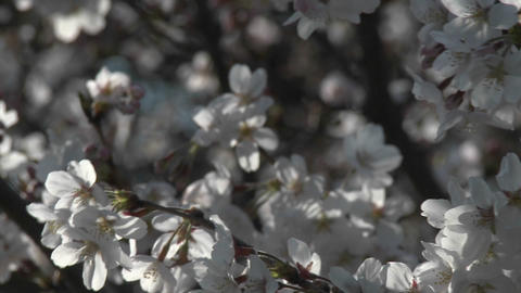 Cherry blossom season in Ueno Park, Tokyo, Japan Stock Video Footage