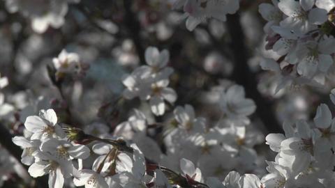 Cherry blossom season in Ueno Park, Tokyo, Japan Footage