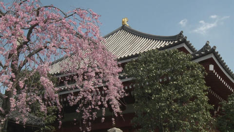 Cherry blossoms on a warm spring day at the Senso-ji... Stock Video Footage
