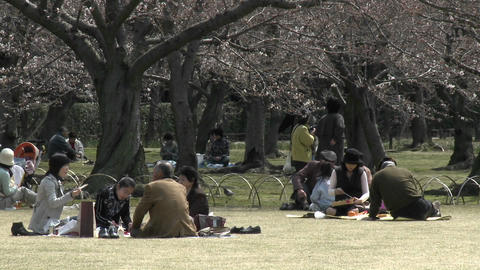 A picnic in Koraku-en park during sakura, or cherry blossom season, Okayama, Japan Footage