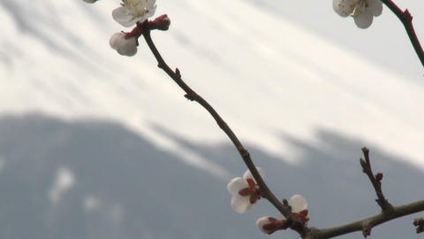 Cherry blossoms and Mt. Fuji, Japan Footage