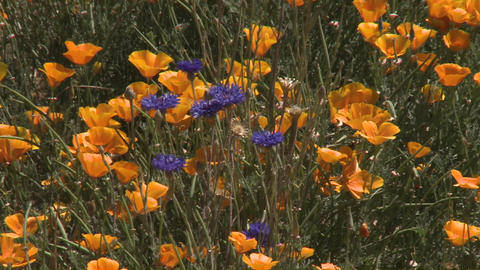 Poppy flowers blow in the wind in the Casablanca Valley... Stock Video Footage