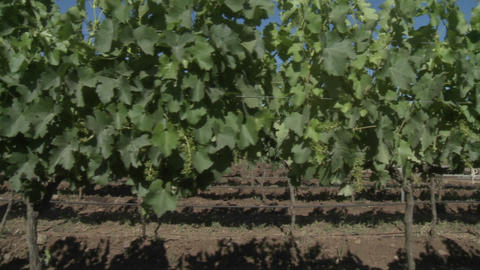 A dolly move through a row of merlot wine vines in Talca,... Stock Video Footage