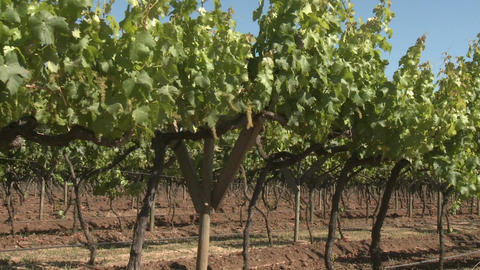 A dolly move through a row of merlot wine vines in Talca, Chile Footage