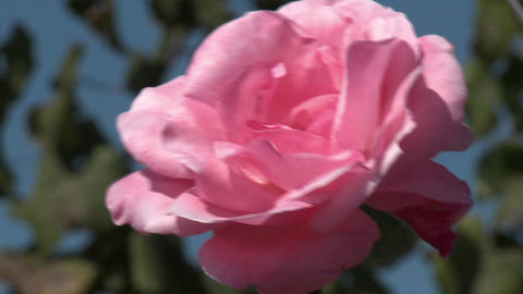 A rose in a vineyard near Talca, Chile Footage