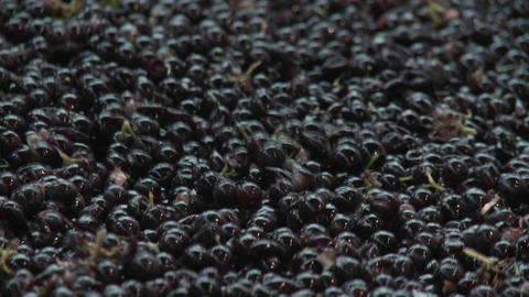 Hand sorting red grapes in Chile Stock Video Footage