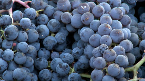 Vertical pan across a bin of red grapes during harvest in... Stock Video Footage