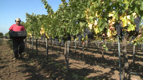 Hand picking red wine grapes during harvest in Chile Stock Video Footage