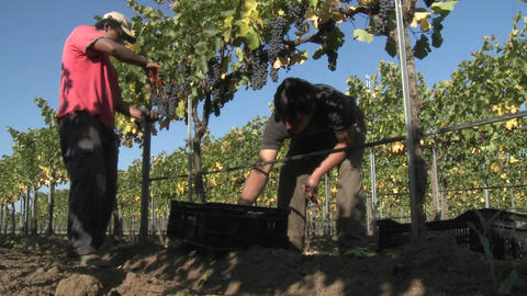 Hand picking red wine grapes during harvest in Chile Live Action