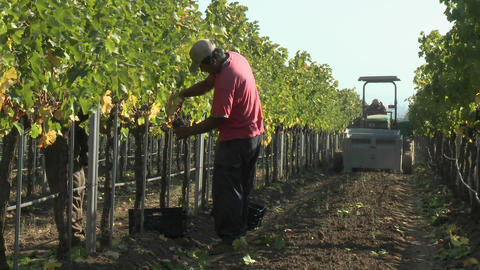 Hand picking red wine grapes during harvest in Chile Footage