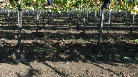 Vertical pan of red wine grapes during harvest season in... Stock Video Footage