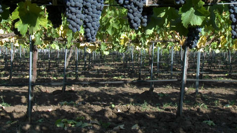 Vertical pan of red wine grapes during harvest season in Chile Footage