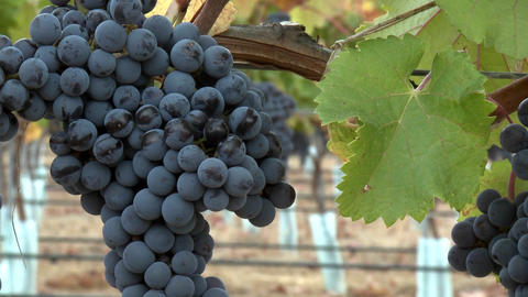 Slow move in on a cluster of red wine grapes during... Stock Video Footage