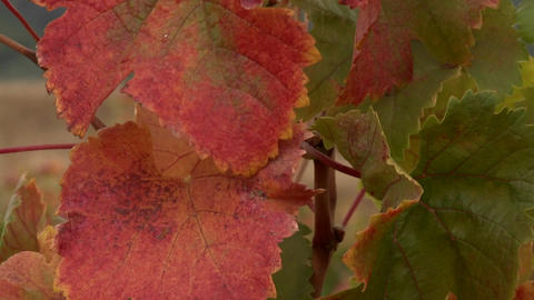 Vertical pan of autumn grape leaves in a vineyard in Talca, Chile Footage