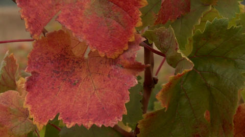 Vertical pan of autumn grape leaves in a vineyard in... Stock Video Footage