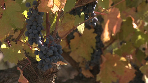Clusters of red wine grapes waiting for fall harvest in a vineyard near Talca, Chile Footage