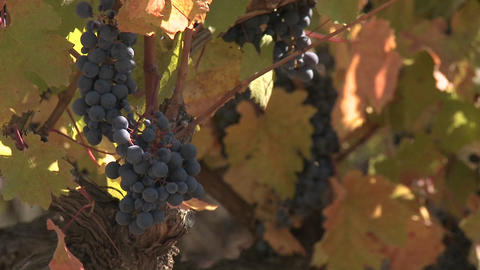 Clusters of red wine grapes waiting for fall harvest in a... Stock Video Footage
