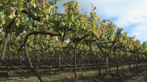 Pan across a row in a vineyard near Talca, Chile Stock Video Footage
