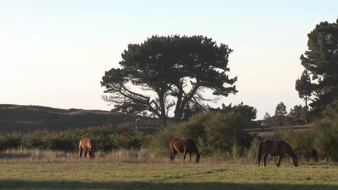 Horses graze in a pasture near Buchupureo, Chile Stock Video Footage