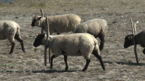 Sheep near Buchupureo, Chile Stock Video Footage