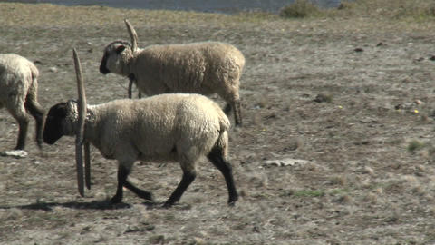 Sheep near Buchupureo, Chile Footage