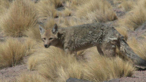 A desert fox in the altiplano above San Pedro de Atacama,... Stock Video Footage