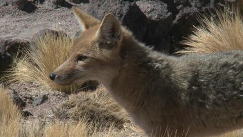 A desert fox in the altiplano above San Pedro de Atacama,... Stock Video Footage