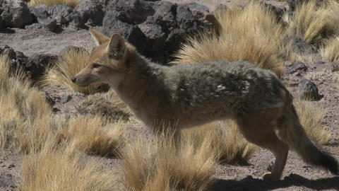 A desert fox in the altiplano above San Pedro de Atacama, Chile Footage