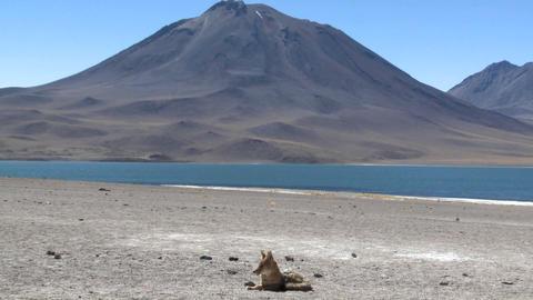 A desert fox in the altiplano near Laguna Miniques in the... Stock Video Footage