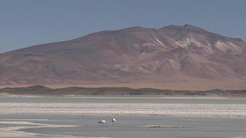 Flamingos in the Salar de Laco in the altiplano high... Stock Video Footage