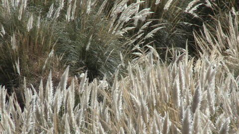 Desert grasses blow in the breeze in the Termas de Puritama, a thermal hot springs near San Pedro de Footage