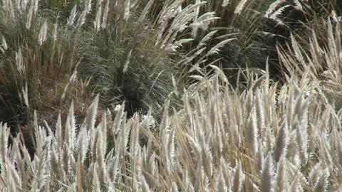 Desert grasses blow in the breeze in the Termas de... Stock Video Footage